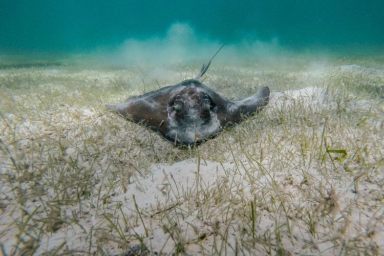 Stingray in sea