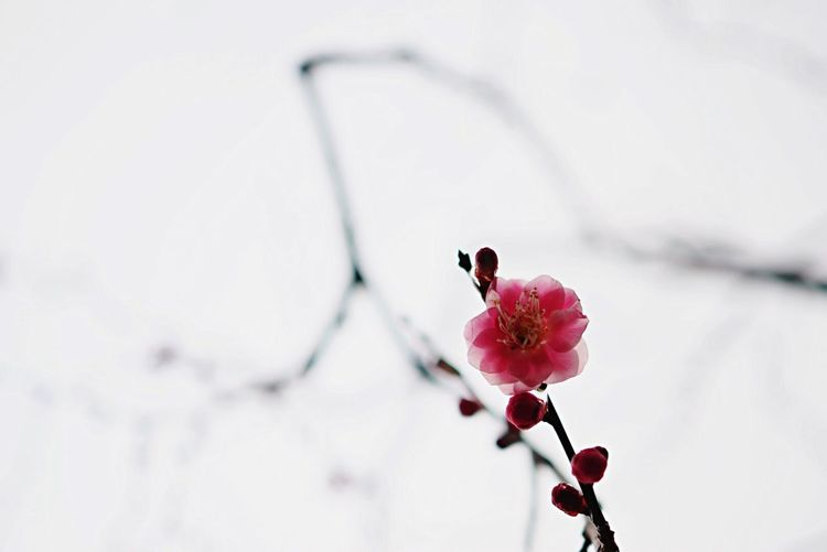 Low angle view of plum blossom on tree against sky