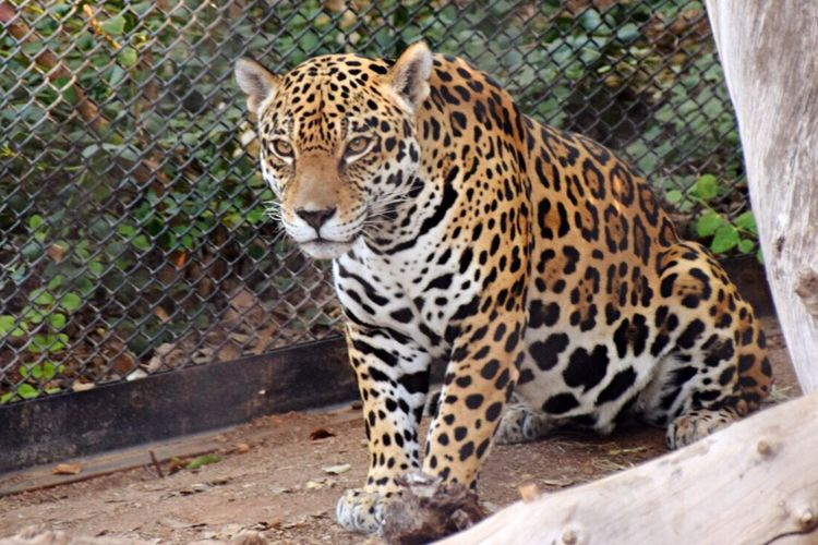 JAGUAR Zoo
