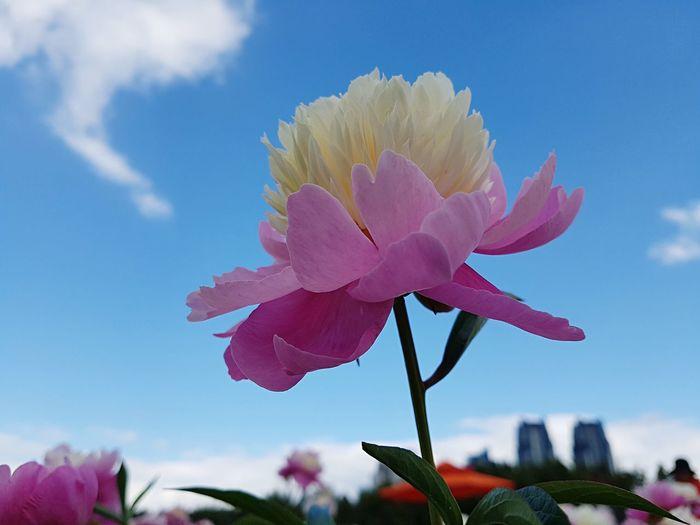 작약 A Peony Baige Plant Sky Flower Beauty In Nature Flowering Plant Growth Nature Close-up Freshness Cloud - Sky Pink Color Day No People Low Angle View Flower Head