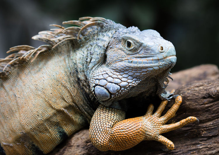 Dinosaur's scowling? Animal Themes Animal Wildlife Animals In The Wild Claw Close-up Day Focus On Foreground Headshot Iguana Nature No People One Animal Outdoors Reptile