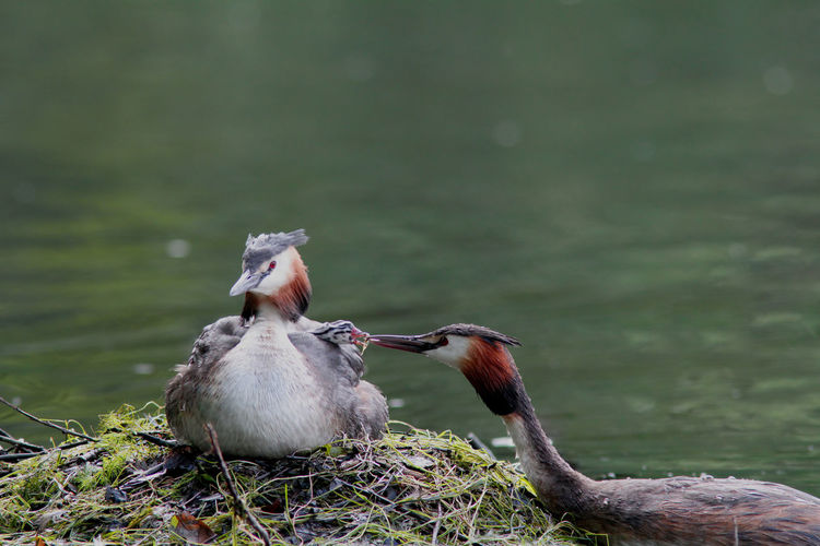 Great Crested Grebes Perching At Lakeshore