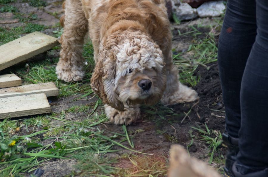 Winter is a curious pup, but I don't think he cares for gardening. American Cocker Spaniel Coatbridge Curious Day Dog Fearful Garden Golden Grass Grassy Mammal Outdoors Puppy Scotland Spaniel Summer Unrecognizable Person Young Animal
