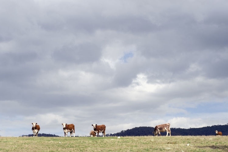 Cows grazing in pasture against cloudy sky
