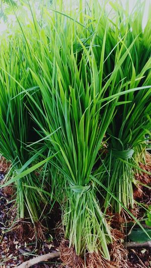 Growth Green Color Plant Field Nature Day Agriculture No People Outdoors Leaf Grass Beauty In Nature Close-up Freshness Rice Plant Rice Stock Rice Growth