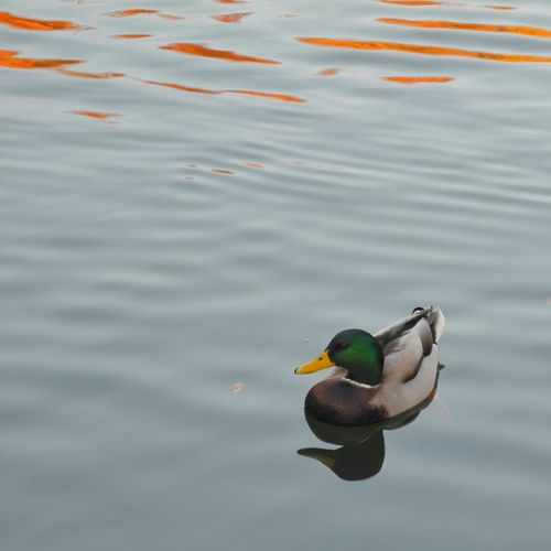 Duck floating on lake
