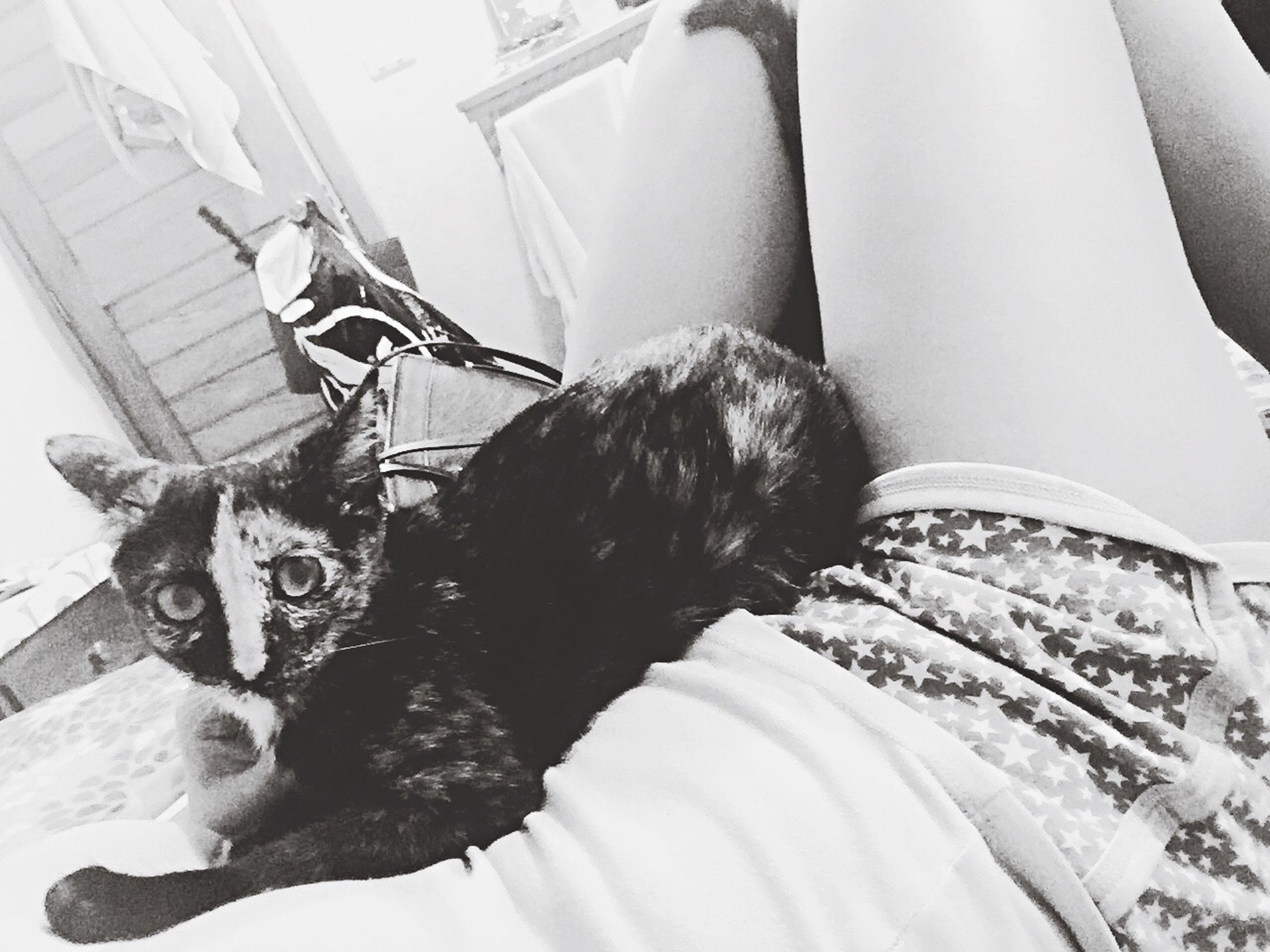 pets, domestic animals, mammal, domestic cat, one animal, animal themes, cat, relaxation, resting, indoors, feline, sitting, lying down, relaxing, dog, looking at camera, portrait, high angle view