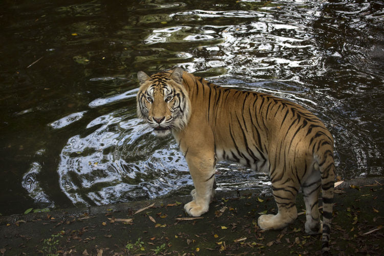 Tiger Tiger Animal Themes One Animal Mammal Animal Cat Vertebrate Animal Wildlife No People Animals In The Wild Big Cat Nature Water Lake Carnivora Forest