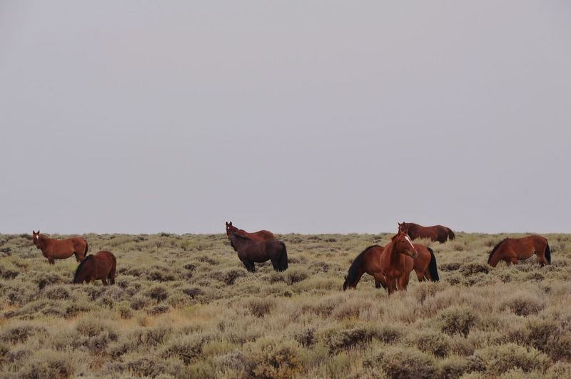 Wyoming wild horses Issues Wyoming Wyoming Landscape Wyoming Wildlife Horses Wild Sweetwater County Group Of Animals Mammal Animal Animal Themes Vertebrate Field Land Animal Wildlife Nature Landscape Sky Horse No People Environment Herbivorous Copy Space