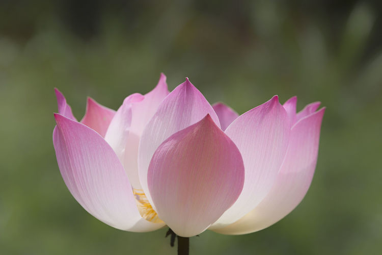 Pink Lotus Flower Flowering Plant Flower Pink Color Lotus Water Lily Flower Head Close-up Growth Plant Petal Freshness Beauty In Nature Nature Lotus Flower Zen Meditation Balance Purity Rebirth Conceptual Springtime Exotic Flower Pink Beauty In Nature Beautiful Botany