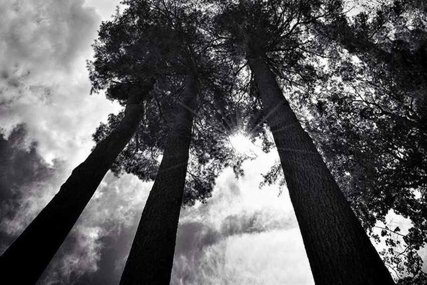 3 G i a n t s Caught some sun yesterday, back to clouds & rain today. . . . . . Sunrays Giants Tree_captures Eastcoast Naturephotography ExploreEverything Dailylook Dailypic Bw_photooftheday InTheSky Urbanexploration UrbanART Streetphotography Streetstyle Nikon_photography_ Nikon Blackandwhitephotography Blackandgrey Creativity Artofvisuals Visualsoflife VisualArt  Newhampshire Newengland OutsideIsFree exploremore findyourart passionate findyourpassion