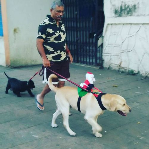 Santa has changed his mode of transportation RudolphIsOnABreak Dogs Morningwalks Mademyday Christmasmorning Christmas Onthestreet Santa Santaclaus Ride Dasher Prancer Rudolph Lucky JustChristmasThings