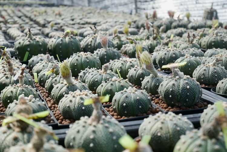 My Cactus Garden Cactus Collection Astrophytum Chiang Mai | Thailand Artichoke Agriculture Vegetable Greenhouse Business Finance And Industry Close-up Farmer's Market Plant Nursery