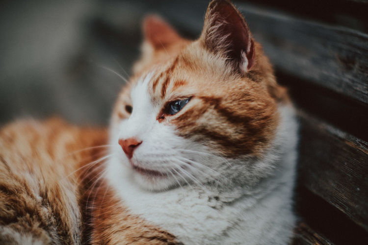 Animal Animal Body Part Animal Eye Animal Head  Animal Themes Cat Close-up Domestic Domestic Animals Domestic Cat Feline Focus On Foreground Ginger Cat Looking Looking Away Mammal No People One Animal Pets Relaxation Selective Focus Vertebrate Whisker