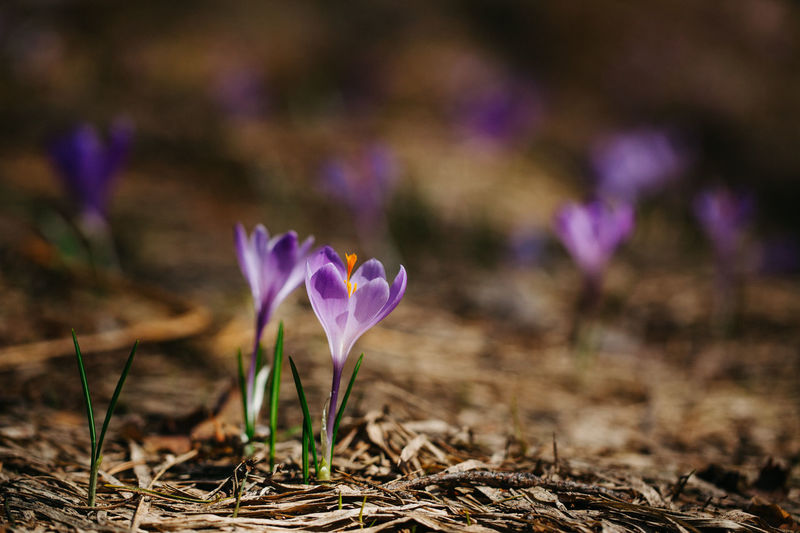 Close-up of crocuses growing on field