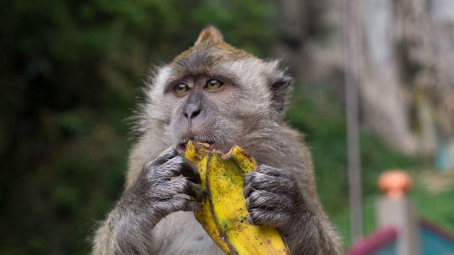 Animal Wildlife Animals In The Wild Primate One Animal Vertebrate Focus On Foreground Mammal
