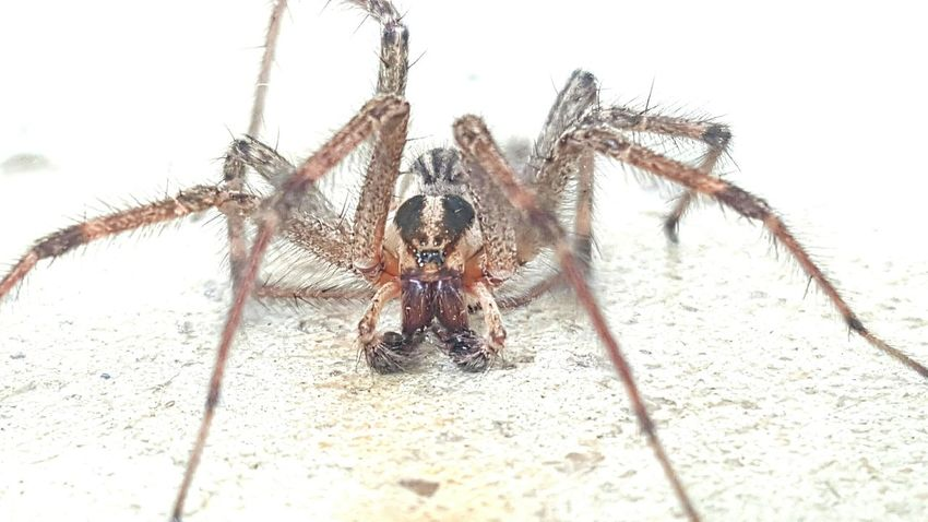 Spider Eight Legs