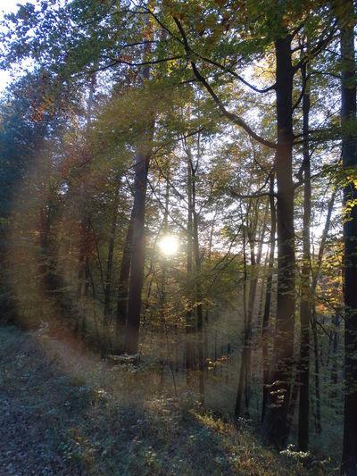 Pfälzerwald Nofilter Outdoors Sunlight Sun In Trees Sun In The Forest Corona Tree No People Nature Beauty In Nature Sunbeam Sonne Im Wald Forest Photography Forest Forestwalk Sonne Im Gesicht Wunderschön Beauty In Nature Sunny Day Wanderlust