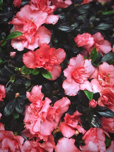 Flower Market of Lantern Festival 8 Lantern Chinese New Year Flower Pink Color Flowering Plant Plant Freshness Vulnerability  Beauty In Nature