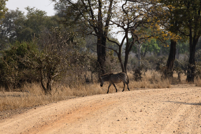 View of a zebra walking in the forest