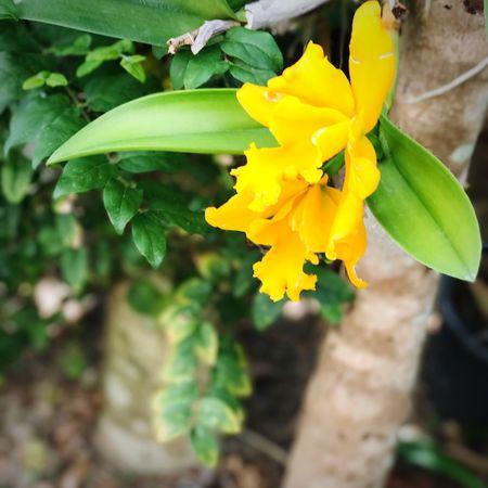 กล้วยไม้ที่บ้าน Flower Plant Fragility Yellow Petal Freshness Growth Nature Close-up Beauty In Nature Leaf Flower Head Blooming No People Outdoors Green Color Day Orchid Blossoms