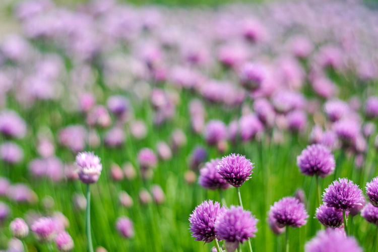Close-up of fresh pink flowers blooming in field
