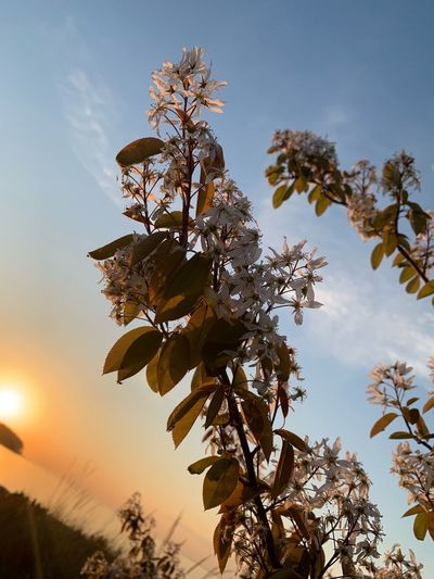 Low angle view of flowering tree against sky during sunset