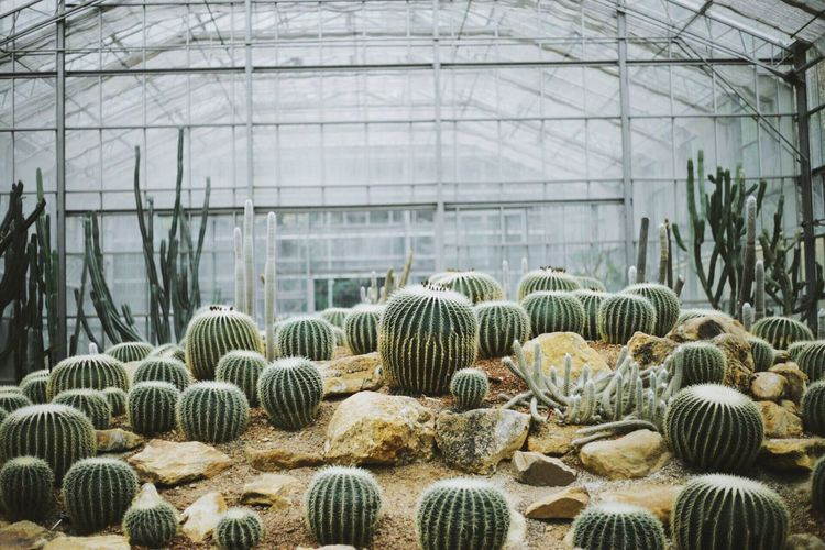 Cactus growing in greenhouse