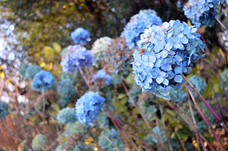 Close-up of purple hydrangea flowers on field