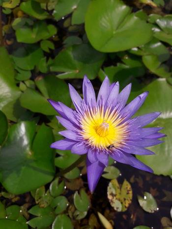 Lotus Flower Petal Plant Leaf Purple Blossom Freshness Nature Water Lily