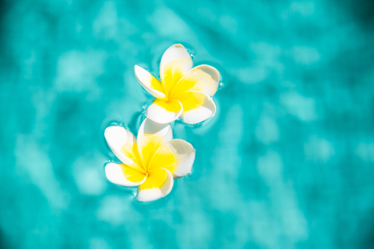 flower, petal, flower head, beauty in nature, fragility, yellow, frangipani, nature, no people, close-up, freshness, day, blooming, outdoors