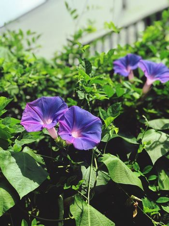 Morning Glory The Power Of Flowers Plant Beauty In Nature Flower Growth Flowering Plant Purple Leaf Freshness Nature Day