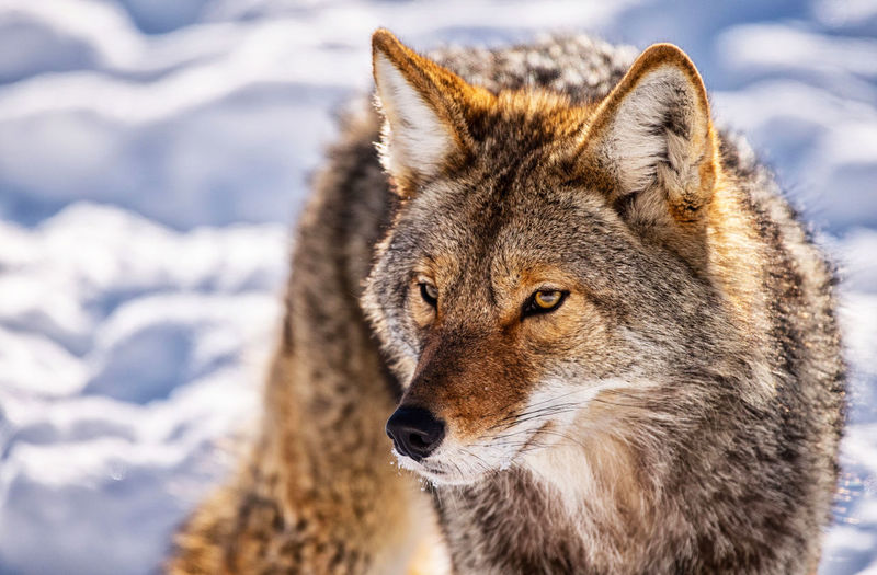 Animal Themes Animal Wildlife Animals In The Wild Beauty In Nature Close-up Cold Temperature Coyote Day Focus On Foreground Mammal Nature No People One Animal Outdoors Portrait Snow Winter