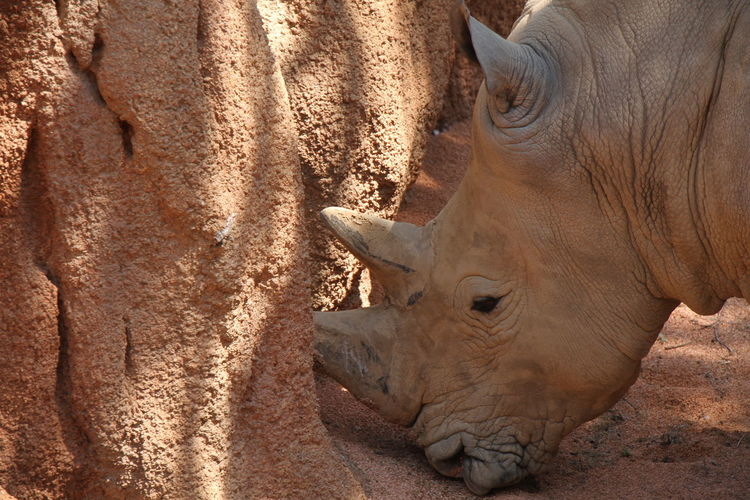 Side view of rhinoceros by rock at zoo