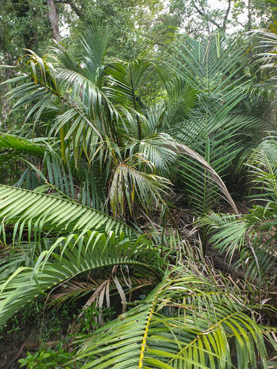 Close-up of palm tree in forest