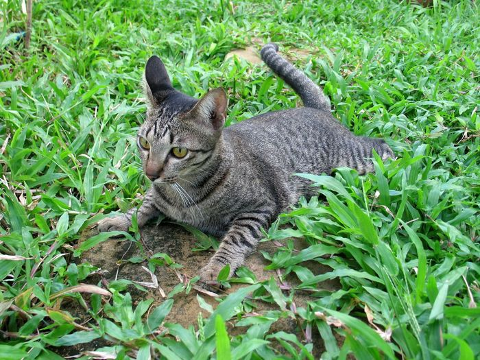 Tabby on grassy field