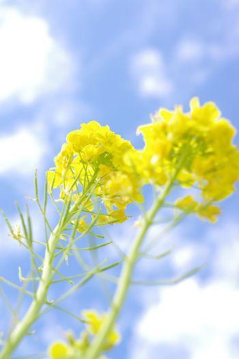 ソレイユの丘 Pentax K-3 菜の花畑 菜の花 Yellow Flower