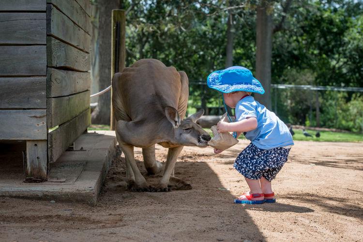Full length of boy feeding kangaroo