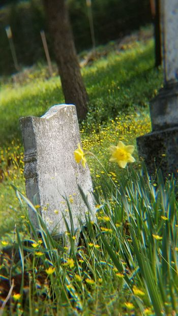 Death And Daffodils Grass Growth Nature Outdoors Flower No People Beauty In Nature Day Close-up Freshness