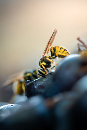 Close-up of insect on grape
