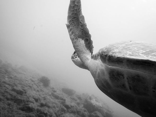 Beauty In Nature BSAC Close-up Monochrome SCUBA Tranquility Turtle Underwater Photography Underwater World Wildlife Photography