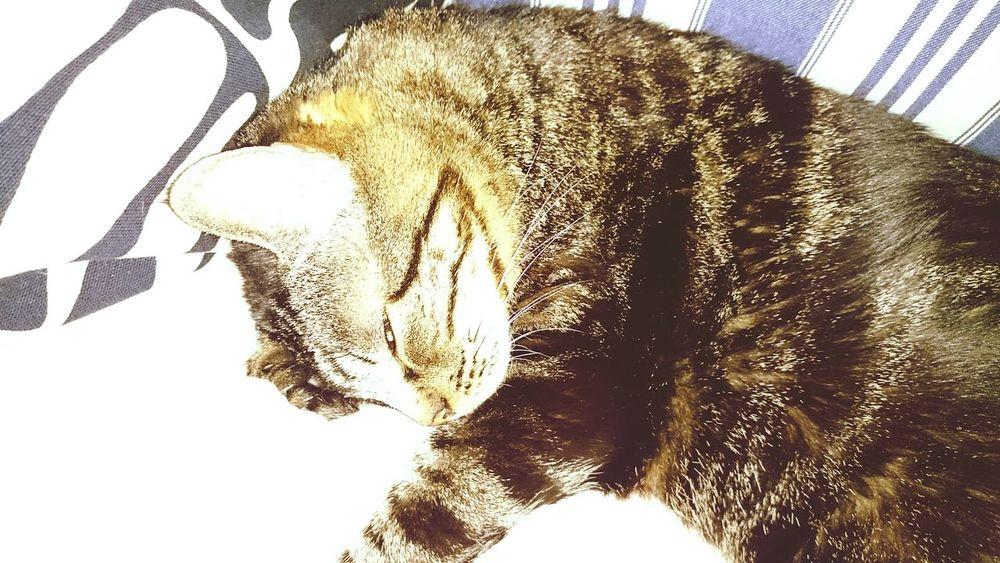 Gato Cat Cats Gatos Felinos Felino Durmiendo Curiosity Gato😽 Gatos 😍