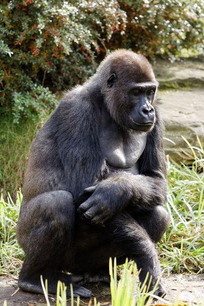 Acceptance Primate Mammal Ape One Animal Gorilla
