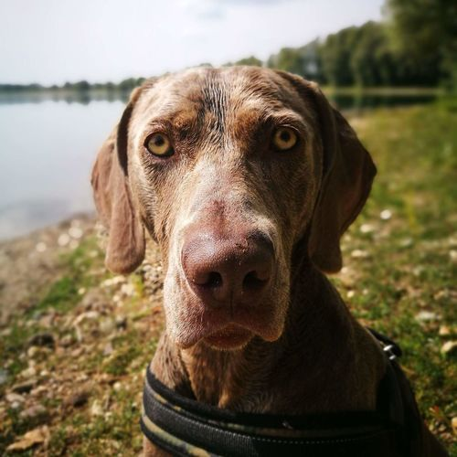 soulfull eyes: My Nebbia Ragazza from the Hooghe Huys. Weimaraner hunting dog Weimaraner Dogs Of EyeEm Dog Pets Pet Portraits Pet Photography  Beautiful Humor Caracteristic Caracter Love Softness Sopretty Typical Wonders Of The World From My Point Of View Dog Pets Portrait One Animal Outdoors Domestic Animals Day Nature Animal Themes No People Mammal Close-up