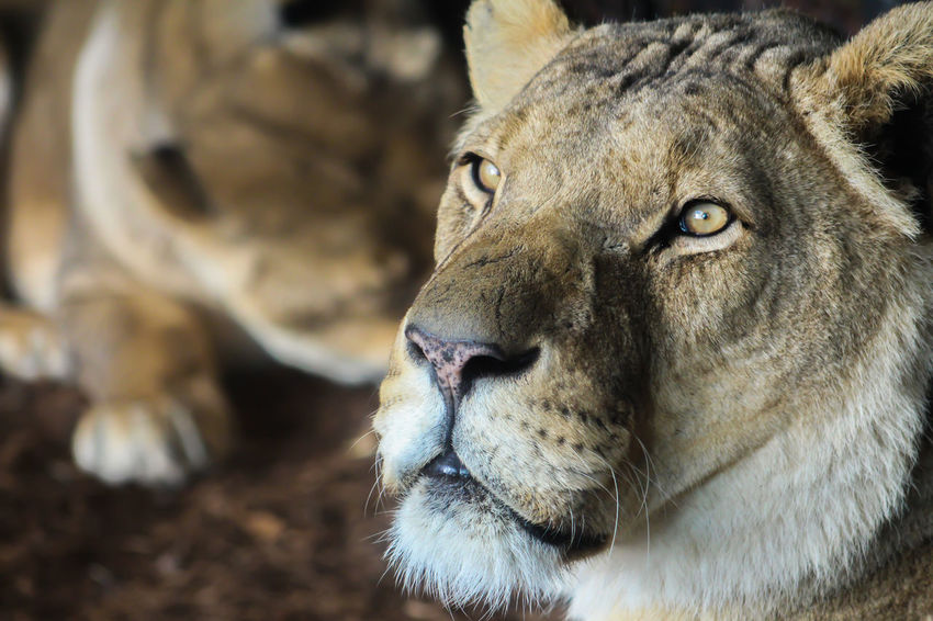 Animal Head  Animal Themes Animals In The Wild Close-up Day Lion Lion - Feline Lioness Mammal No People One Animal Outdoors Wildlife