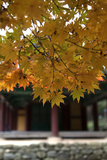 autumn at Gochang Eupseong in Jeonbuk, South Korea Fall Beauty Tranquility Architecture Autumn Autumn Color Beauty In Nature Branch Building Exterior Built Structure Change Close-up Day Fall Gochang Growth Leaf Maple Maple Leaf Maple Leaves Maple Tree Nature No People Outdoors Tree