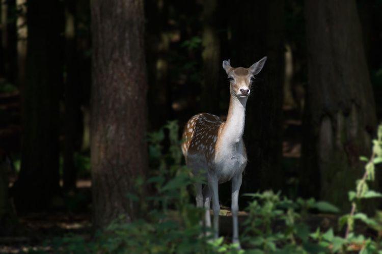 Rehkitz Deer Fawn Reh Wildlife