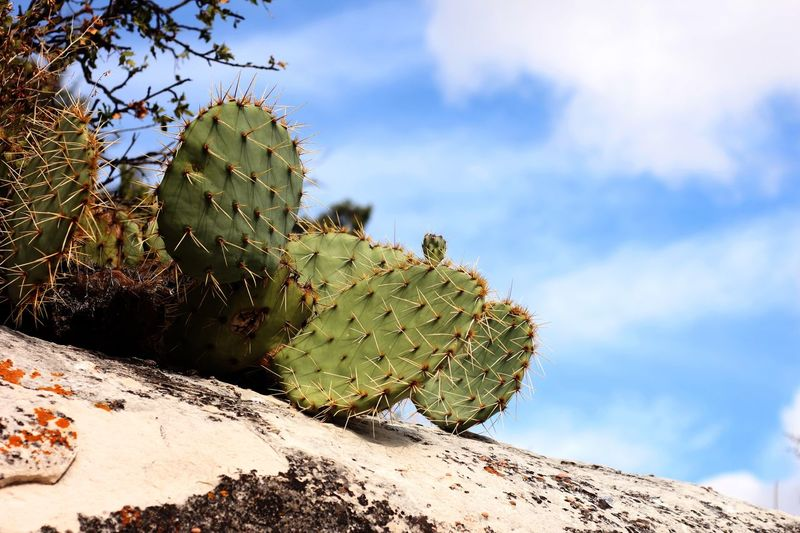 Opuntia cactus growing on top of a rock against a blue sky Opuntia Cactus Sky Plant Cloud - Sky Growth Nature Cactus Succulent Plant No People Day Beauty In Nature Spiked Green Color Sunlight Thorn Low Angle View Tranquility Outdoors Tree Scenics - Nature