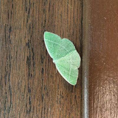 Mint moth! ? Moth Mint Green Picoftheday beautiful