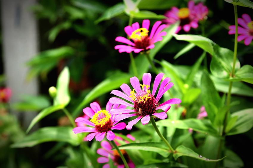 Zinnia flowers Flower Flowers Plants And Flowers Plant Nature Garden Garden Flowers Zinnia  Zinnias, Flowers